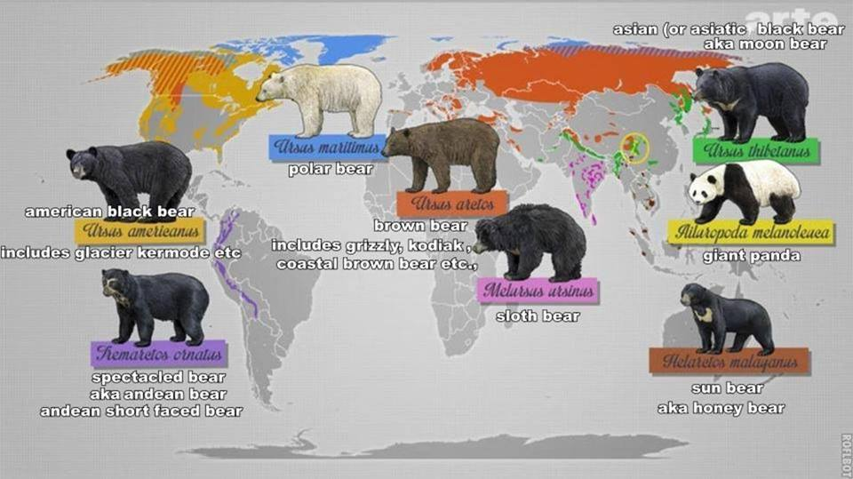 "The ""King"" of the bears - comparison between the Polar ... Bear Species Chart"