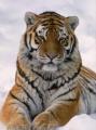 P Tigris