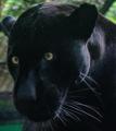Dark Jaguar